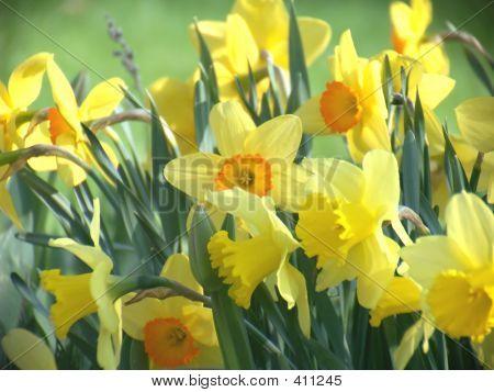 Spring Daffodil Flowers