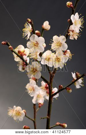white plum bloossom