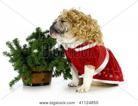 christmas dog - english bulldog sitting beside christmas tree isolated on white background