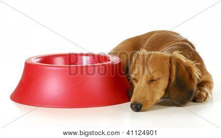 dog waiting to be fed - long haired miniature dachshund sleeping beside empty dog food dish isolated on white background