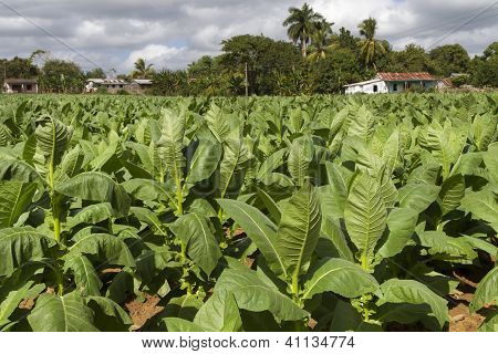 Tobacco plantation on Cuba