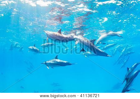 Dolphins Underwater in Hawaii