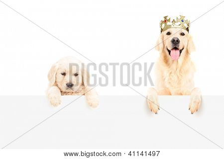 Golden retriever with crown and a baby dog posing on a blank panel isolated on white background
