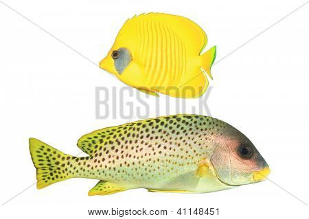 Masked Butterflyfish and Sweetlips fish isolated on white background