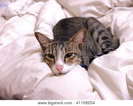 Cat Lying On Bed Cover