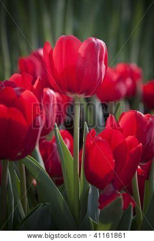 red tulip flower in the garden