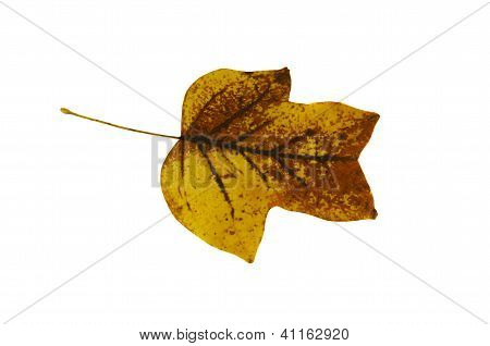 Sear Tulip Tree Leaf