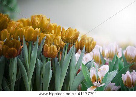 yellow golden  tulip flower in the garden