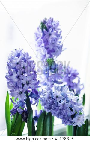 lila Hyazinthen