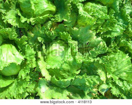 Crisp Lettuce