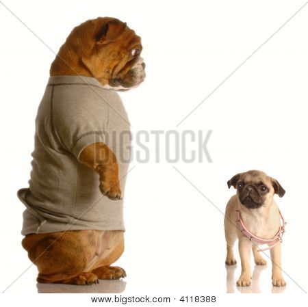 Bulldog Looking Down At Pug With Collar