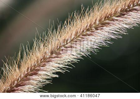 Foxtail plant flower close up