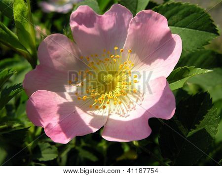 pink flower of briar rose