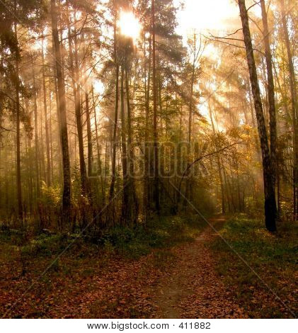 Morning In A Forest.