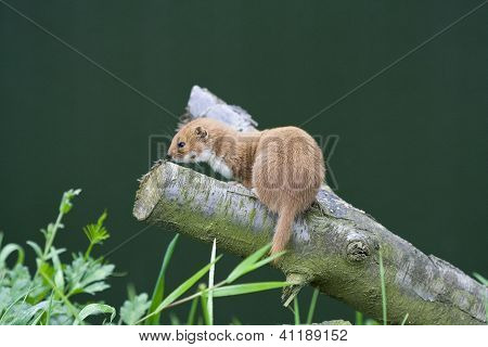 Weasel On A Branch
