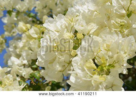 A Great Many  Bougainvillea Flowers