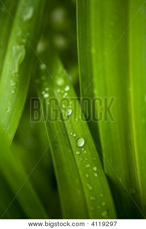 Morning Dew On Leaves