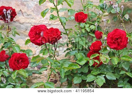 Roses On Old Wall