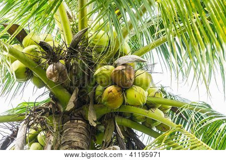 Tropical coconut tree