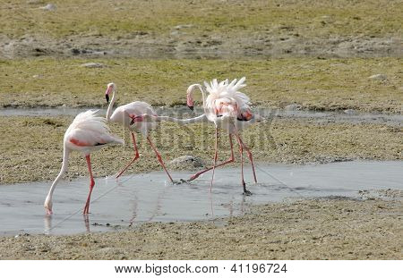 Beautiful Flamingos playing