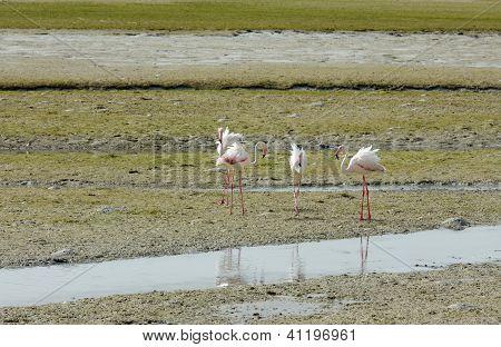 Flamingos spreading its feather