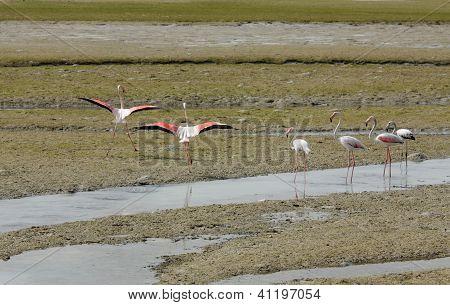 Beautiful Flamingos ready to fly