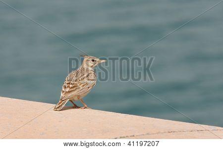 A beautiful crested lark near sea