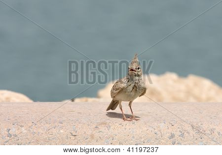 A beautiful crested lark staring with open beak