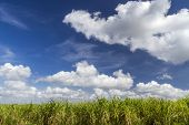 image of greater antilles  - Sugar cane plantation on the island of Cuba - JPG