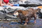 Dachshund Standing In Water