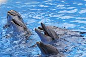 image of bottlenose dolphin  - A group of Bottlenose Dolphins Tursiops truncatus - JPG