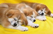 stock photo of akita-inu  - Three Akita Inu puppy dogs sleeping at yellow towel - JPG
