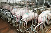 image of pig-breeding  - young Group pigs feeding at breeding pig farm - JPG