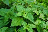picture of nettle  - Stinging nettle or common nettle Urtica dioica perennial flowering plant - JPG