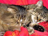 Постер, плакат: Две кошки сна