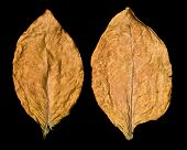 image of tobacco leaf  - dry leaf tobacco closeup on the black background - JPG
