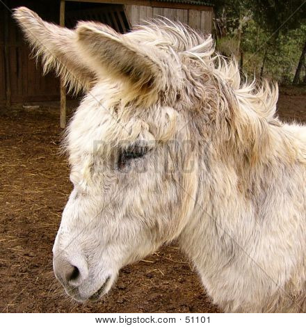 Bedraggled Donkey