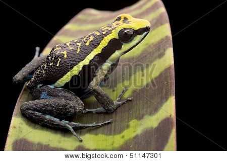 Poison arrow frog Ameerega bassleri from the Amazon rain forest in Peru. A macro of a beautiful tropical amphibian with bright yellow colours. Poisonous animal exotic pet in a rainforest terrarium.