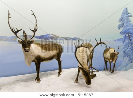 Caribou Caravan