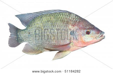 The Tilapia fish (Oreochromis mossambicus) isolated on white. The tilapiines are the very important commercial fish.