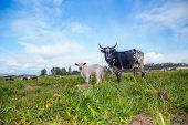 picture of dairy cattle  - A cow and her white calf standing in the field of a cattle dairy - JPG