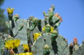 stock photo of prickly pears  - This is a Texas Prickly - JPG