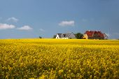 stock photo of farmhouse  - Yellow rape field and farmhouses in Melsted on Bornholm Denmark