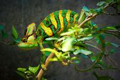 stock photo of tropical rainforest  - The Veiled chameleon  - JPG