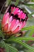stock photo of ripper  - Protea Burchellii