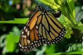 Monarch Butterfly Laying Eggs