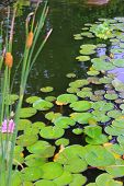 Lillypads And Cattails