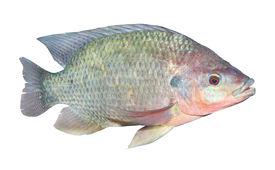 foto of freshwater fish  - The Tilapia fish  - JPG