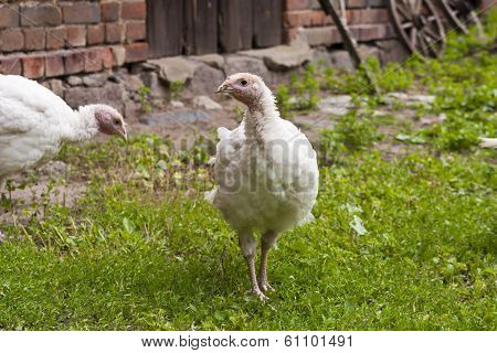 Turkey Hen On A Farm