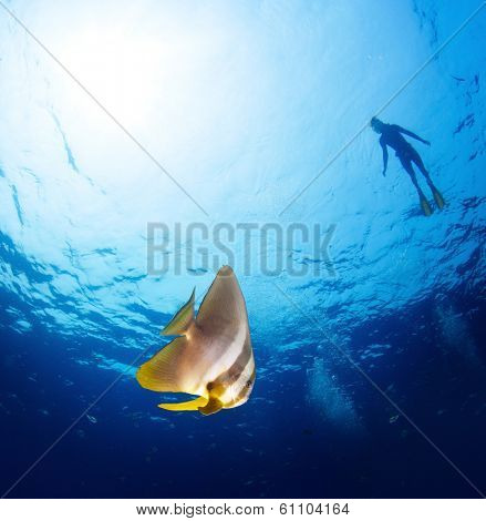 Underwater shot of bright batfish (Ephippidae family) on the foreground and silhouette of the snorkeler on the surface